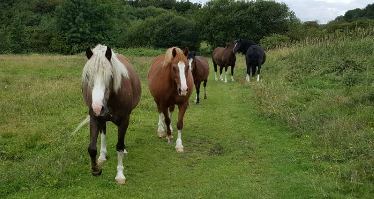 Large herd of fly grazing horses removed